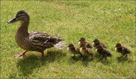 yellow baby ducks walking - photo #35